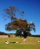 De lammeren van de lente in platteland royalty-vrije stock afbeeldingen