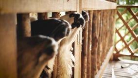 De lammeren wachten op het voeden stock footage