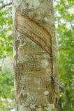 De landbouw van het rubberboomlatex Stock Foto's