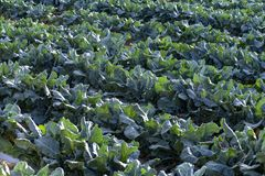 De landbouw van Spaanse broccoli royalty-vrije stock foto