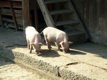De landbouwbedrijfdieren, varkens die vrij in dorp in het zoeken van China zwerven behandelt Stock Foto
