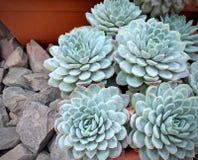 De landbouwbedrijven van de cactusheide, blauwe succulents royalty-vrije stock foto's