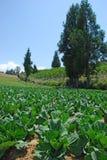 De landbouwbedrijven van de kool met pijnboombomen in het Fushoushan Landbouwbedrijf, Taiwan Stock Fotografie