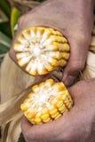 De landbouwer analyseert een maïskolf Stock Foto's