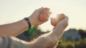 De landbouwer breidt handen met rijpe tomaten tot zon uit en kijkt op hen 4K stock video