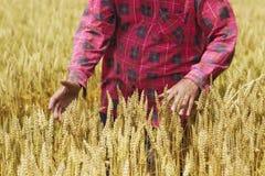 De landbouwer controleert of de tarwe voor oogst klaar is Royalty-vrije Stock Fotografie