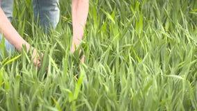 De landbouwer controleert graangewas, tarwe vóór oogsttijd stock videobeelden