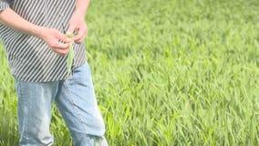 De landbouwer controleert graangewas, tarwe vóór oogsttijd stock video