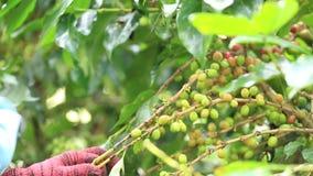 De landbouwer die de rijpe organische bonen van de kersenkoffie is oogsten met de hand geoogst één van beiden stock footage
