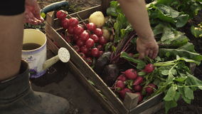 De landbouwer die oogst van bieten, tomaten, radijzen in een houten doos op eco vouwen bewerkt in zonsonderganglicht stock videobeelden