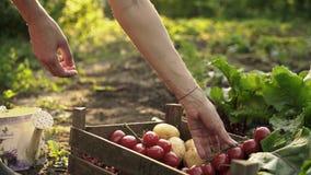 De landbouwer die oogst van tomaten, bieten, aardappels in een houten doos op eco vouwen bewerkt in zonsonderganglicht stock video