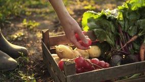 De landbouwer die oogst van tomaten, bieten, aardappels, wortelen in een houten doos op eco vouwen bewerkt in zonsonderganglicht stock videobeelden
