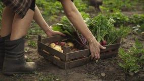 De landbouwer die oogst van tomaten, bieten, wortelen in een houten doos op eco vouwen bewerkt in zonsonderganglicht stock footage