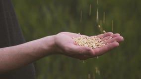 De landbouwer die rijpe tarwe gouden korrels gieten en klemt zijn vuist dicht De tarwekorrel in een mannetje overhandigt nieuwe o stock footage