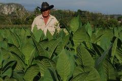 De landbouwer die van Cubanen zich in zijn tabaccoaanplanting bevinden in Vinales royalty-vrije stock foto