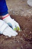 De handen die van de landbouwer sproud in grond planten Royalty-vrije Stock Foto