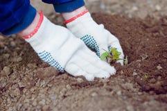 De handen die van de landbouwer sproud planten Stock Afbeeldingen