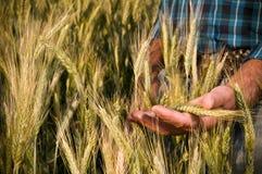 De landbouwer dient tarwegebied in Stock Foto's