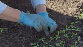 De landbouwer duikt tomatenzaailingen stock video