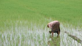 De landbouwer is een vrouwenslijtage een rijst van de hoedenholding op padiegebied met het moerasland bij BangYai-Park, Nonthabur stock video