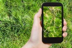 De landbouwer fotografeert bloeiende katjes van salixboom Stock Afbeelding