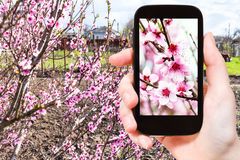 De landbouwer fotografeert roze perzikbloemen op boom Stock Afbeelding