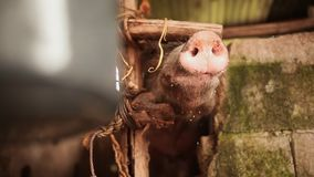 De landbouwer geeft het varken aan drinkt water van de gietlepel Het kweken van binnenlandse varkens in een Filipijnse stad stock footage