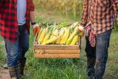 De landbouwer hielp om de kratten op te heffen die die suikermaïs bevatten op de graangebieden wordt geoogst De landbouwers oogst royalty-vrije stock afbeeldingen