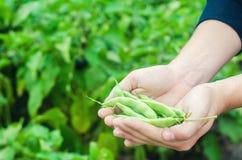 De landbouwer houdt verse bonen in handen Franse bonen Oogst op het gebied farming De productie van het landbouwvoedsel stock afbeelding