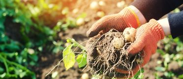 De landbouwer houdt in zijn handen een struik van jonge gele aardappels, het oogsten, het seizoengebonden werk op het gebied, ver royalty-vrije stock foto