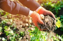 de landbouwer houdt in zijn handen een struik van jonge gele aardappels, het oogsten, verse groenten, agro-cultuur, de landbouw,  stock afbeelding
