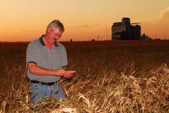 De landbouwer inspecteert harde tarwe Stock Fotografie