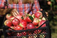 De landbouwer inspecteert het fruit na oogst royalty-vrije stock afbeelding