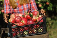 De landbouwer inspecteert het fruit na oogst stock fotografie