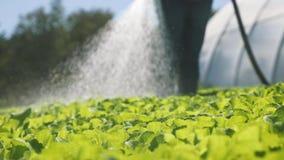 De landbouwer irrigeert groene jonge zaailingen op het gebied dichtbij een serre Close-up stock videobeelden