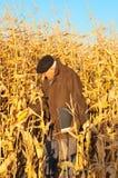 De landbouwer kijkt op maïs Stock Afbeelding