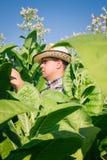 De landbouwer kijkt tabak op het gebied Royalty-vrije Stock Foto's