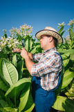 De landbouwer kijkt tabak op het gebied Royalty-vrije Stock Afbeeldingen