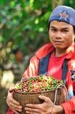 De landbouwer oogst koffiebessen Stock Fotografie