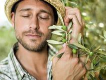 De landbouwer oogst olijven Stock Afbeeldingen