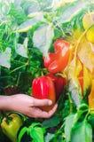 De landbouwer oogst de peper op het gebied Verse Gezonde Organische Groenten Landbouw royalty-vrije stock fotografie