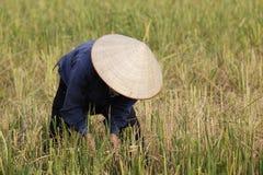 De landbouwer oogst rijstinstallatie Stock Foto's