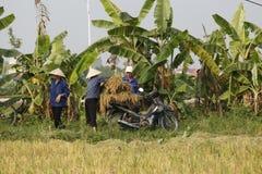 De landbouwer oogst rijstinstallatie Stock Afbeelding