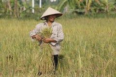De landbouwer oogst rijstinstallatie Stock Fotografie