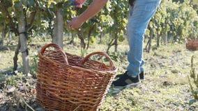 De landbouwer oogst rode druif van een boom bij wijngaard en zette het in rieten mand stock footage