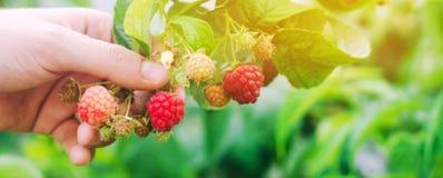 De landbouwer oogst verse frambozen in de tuin op een zonnige dag De zomerbes Gezond voedsel Selectieve nadruk royalty-vrije stock foto