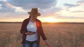 De landbouwer is op een tarwegebied bij zonsondergang Controleer de groei van tarwe gebruikend een tablet stock video