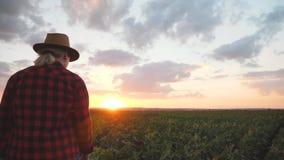 De landbouwer is op het gebied bij zonsondergang Bekijkt de groei van cultuur stock videobeelden