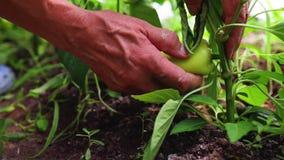 De landbouwer overhandigt het plukken peper op een installatie in een serre Organische groenten in tuin tuinbouw inlands stock video