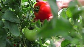 De landbouwer overhandigt het plukken tomaten op een installatie in een serre stock footage